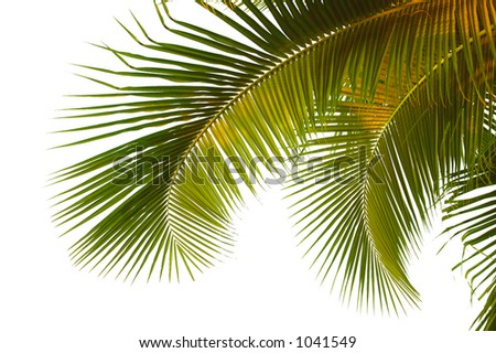 Hanging palm fronds from Thailand with clipping path