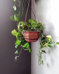 hanging plant Sirih gading or Devil's ivy, also known as pathos (Epipremnum aureum), is a tropical plant.
