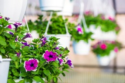 Hanging pots with blooming petunia flowers in the greenhouse