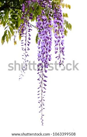 Hanging purple Wisteria