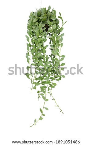 Hanging vine plant succulent leaves of epiphytic plant (Dischidia sp.) in tropical rainforest garden, indoor houseplant isolated on white background with clipping path.
