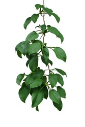 Hanging vine plant with dark green leaves and fruits of tropical forest climbing plant (Scindapsus officinalis), herbal medicinal plant isolated on white background with clipping path.