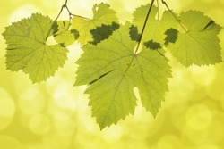Hanging Wine Grape Leaves on Green Blurred Background