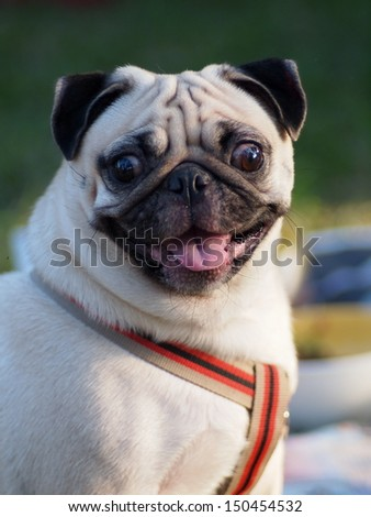 happy active white pug dog laughing, ready to run and play in green field outdoor under sunlight in good weather day