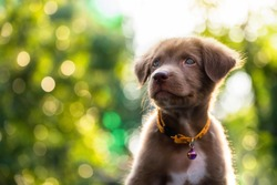 Happy Adorable brown Labrador retriever puppy with bokeh leaf abstract background. Cute smile canine at green tree leaf during sunset with copy space for text. 2018 year of dog in Chinese calendar.