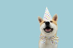 Happy akita dog celebrating birthday or carnival wearing party hat and bowtie. Isolated on blue colored background.
