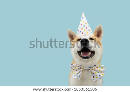 Happy akita dog celebrating birthday or carnival wearing party hat and bowtie. Isolated on blue colored background. Stock fotó ©