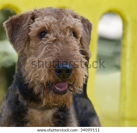 Happy alert airedale terrier dog stands on play structure outdoors at a playground and park area.
