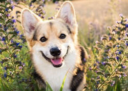 Happy and active purebred Welsh Corgi dog outdoors in the flowers on a sunny summer day.
