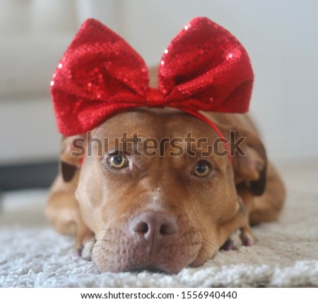 Happy and adorable pit bull with a bow #1556940440
