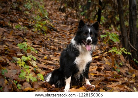 Happy and relaxed border collie puppy in the countryside