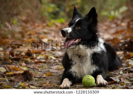 Happy and relaxed border collie puppy lying down in a mountain trail