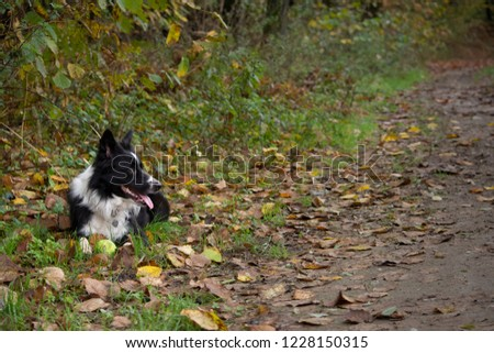 Happy and relaxed border collie puppy lying down in a mountain trail with his ball