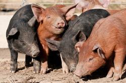 Happy as pigs in mud