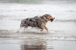 happy aussie dog running and jumping playful in the sea with an orange toy