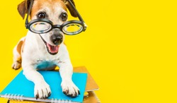 Happy back to school dpg yellow background. Nerd style in glasses. Lovely pet Jack russell terrier