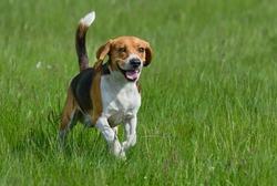 Happy beagle dog having fun on then green grass