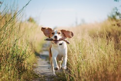 Happy beagle dog with flying ears running outdoors with stick in mouth. Active dog pet enjoying summer walk
