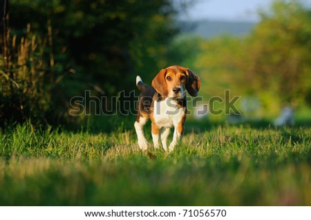 Happy beagle puppy dog in the meadow