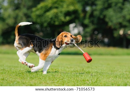 Happy beagle puppy dog in the meadow and  hops jocularly with the toys