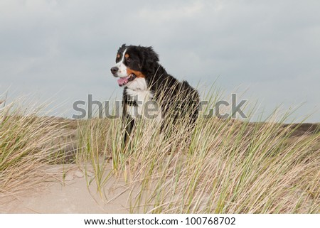 Happy berner sennen dog outdoors playing and running in dune landscape. Enjoying nature. Stormy day.