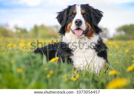 Happy bernese mountain dog in beautiful spring flowerd field. Spring flovers and dog. #1073056457