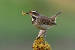 Happy bird with fresh meal worm in its beaks as big supper before dark, female bluethroat