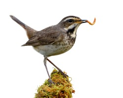 Happy bird with fresh meal worm in its mouth while perching on mossy green grass spot isolated on white background, female bluethroat