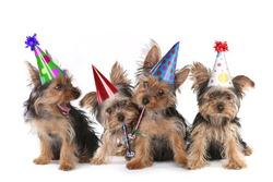 Happy Birthday Theme Yorkshire Terrier Puppies on White Singing