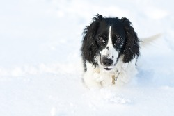 Happy black and white dog running in the snow