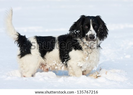 Happy black and white dog standing in the snow