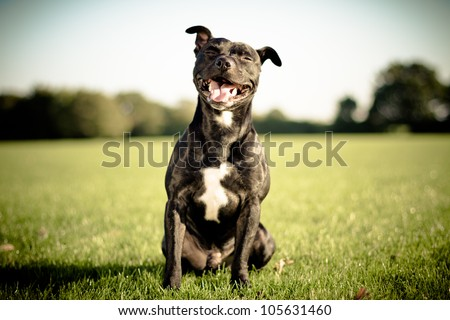 happy black bull terrier