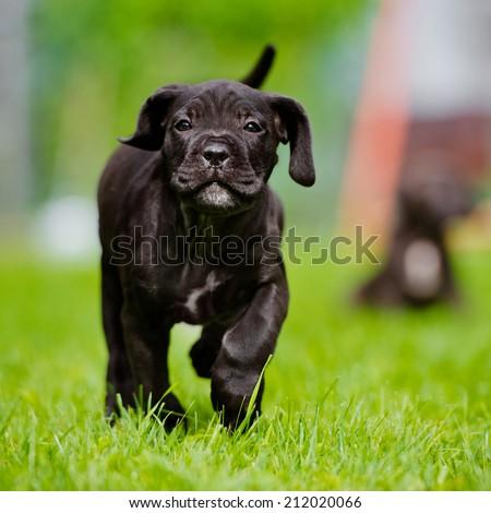 happy black cane corso puppy