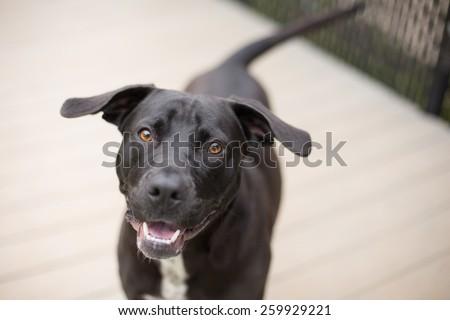 Happy black dog plays outside