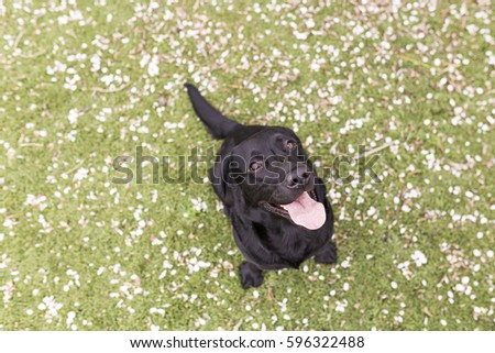 Stock Photo Happy black labrador with his tongue hanging out over green background. Love for animals concept and lifestyle. Top view
