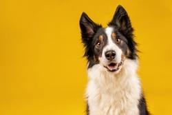 Happy black tri border collie portrait on yellow background