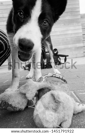 Happy Border collie dog picture