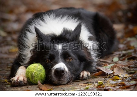 Happy border collie puppy playing in the countryside with his ball