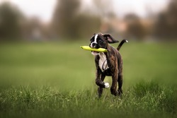 happy boxer puppy fetching a toy on a field