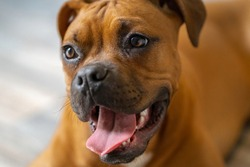 Happy Boxer Puppy Portrait Closeup