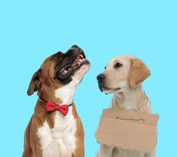 Happy Boxer wearing bowtie while looking up and stray Labrador Retriever wearing adoption sign  on blue background