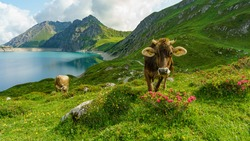 happy brown cow on the alpine pasture between alpine roses and other blooming flowers. beef on the flowered meadows from three stage alpine farming at the lake of Brand. wonderful place in Vorarlberg