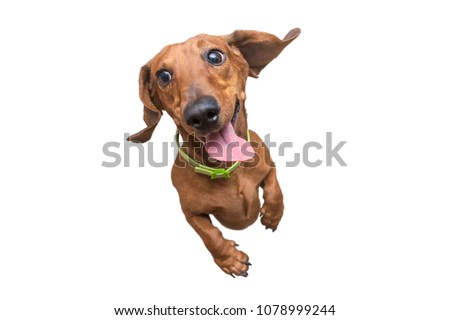 Happy brown dachshund jumping on camera. White isolated background