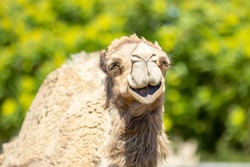 Happy camel smiles in beautiful green and yellow garden close up