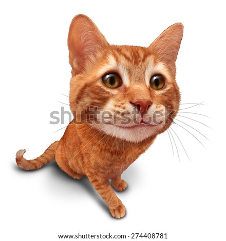 Happy cat on a white background as a cute orange tabby kitty with a smile in forced perspective as a symbol of pet care or veterinary health.