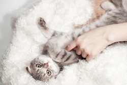 Happy cat Scottish fold breed age 3 months lovely comfortable sleeping by owner stroking hand grip at. Little scottish fold Cat cute ginger kitten pet is feeling happy. love to animals pet concept.