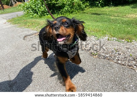 Happy Cavalier King Charles Spaniel on a walk Photo stock ©