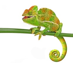 happy chameleon