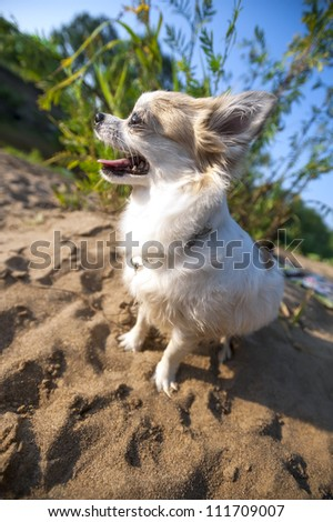 happy Chihuahua dog close-up on  solar summer landscape background with beach sand and blue sky