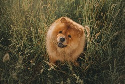 happy chow chow dog sitting in long grass outdoors